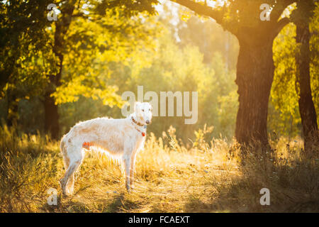 White Russian Dog, Borzoi, Hunting dog in Summer Sunset Sunrise Forest. - Stock Photo