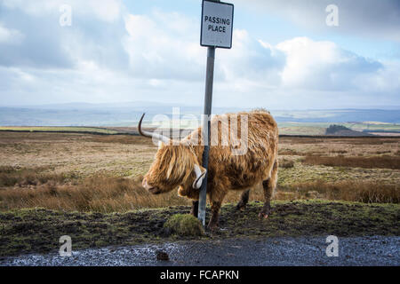 Highland Cow near Malham in the Yorkshire Dales - Stock Photo