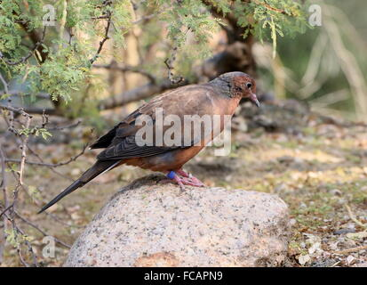 Captive Mexican Socorro mourning Dove (Zenaida macroura graysoni), since 1972 extinct in the wild, breeding program, - Stock Photo