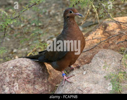 Mexican Socorro mourning Dove (Zenaida macroura graysoni), since 1972 extinct in the wild, breeding program, Arnhem - Stock Photo
