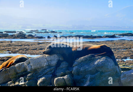 Wild New Zealand Fur Seals, sleeping on the warm rocks  at low tide on the beautiful Kaikoura Peninsula,South Island - Stock Photo