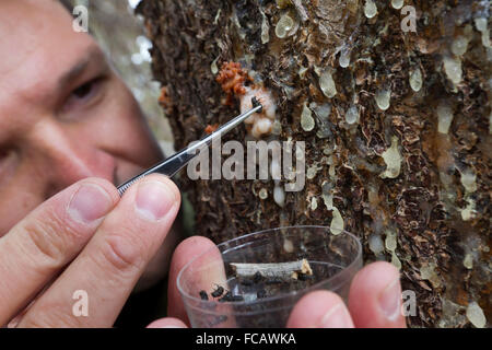 Colorado State University professor and beetle researcher Dan West collects mountain pine beetles from a ponderosa - Stock Photo