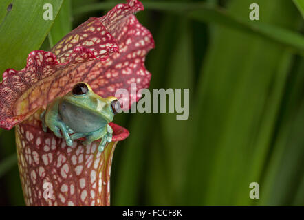 Maroon Eyed Tree Frog on Red Pitcher Plant - Stock Photo