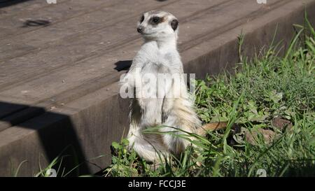 Meerkat Sitting By Wooden Plank - Stock Photo