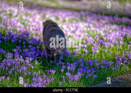Cat in the crocuses - Stock Photo