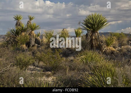 Spanish dagger or Torrey Yucca, Yucca faxoniana, on Dagger Flats, Big Bend National Park, Texas - Stock Photo