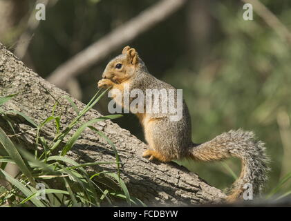 Eastern Fox Squirrel, Sciurus niger feeding in tree; Rio Grande, Texas. - Stock Photo