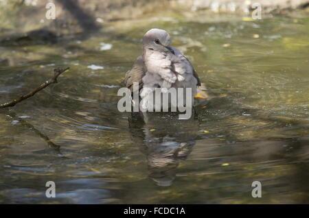White-tipped Dove, Leptotila verreauxi, bathing in shallow pool, Texas - Stock Photo