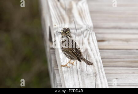 Savannah sparrow, Passerculus sandwichensis perched, on jetty in winter, Texas. - Stock Photo