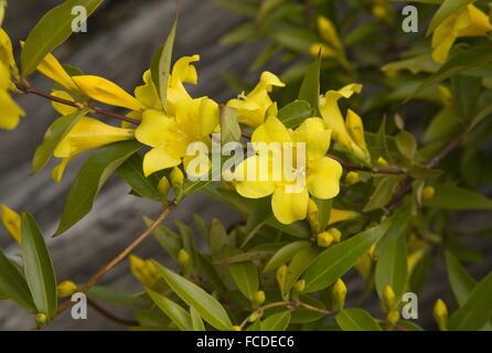 Carolina jessamine, Gelsemium sempervirens, in flower in early spring; Texas. - Stock Photo