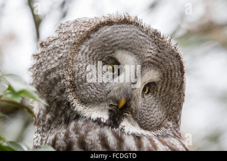 Netherlands, Kerkrade, Gaia Zoo. Lapland owl - Stock Photo