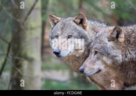 Netherlands, Kerkrade, Gaia Zoo. Gray wolf - Stock Photo