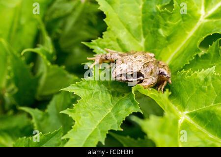 Netherlands, Susteren near Echt. Nature reserve De Doort. Common frog (Rana temporaria) - Stock Photo