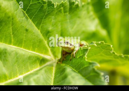 Netherlands, Susteren near Echt. Nature reserve De Doort. European tree frog (Hyla arborea formerly Rana arborea) - Stock Photo