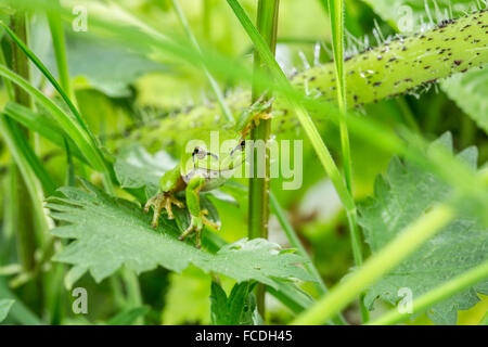 Netherlands, Susteren near Echt. Nature reserve De Doort. European tree frog (Hyla arborea formerly Rana arborea) - Stock Photo