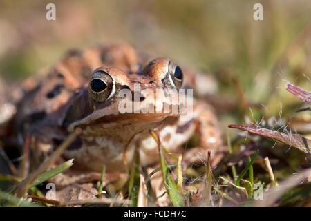 Netherlands, Loon op Zand, De Moer. nature reserve Huis ter Heide. Female moor frog (Rana arvalis) - Stock Photo