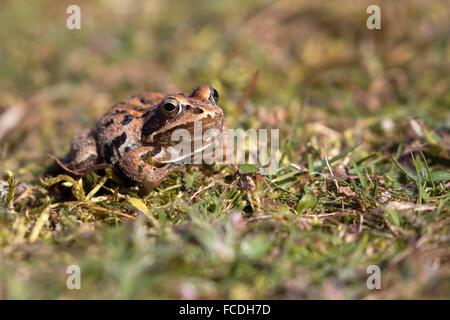 Netherlands, Loon op Zand, De Moer. nature reserve Huis ter Heide. Female moor frog (Rana arvalis)