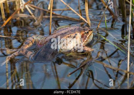 Netherlands, Loon op Zand, De Moer. nature reserve Huis ter Heide. Female moor frog (Rana arvalis). Male trying - Stock Photo