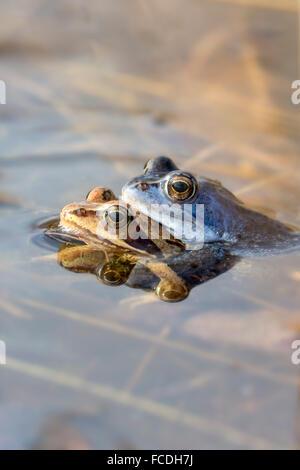 Netherlands, Loon op Zand, De Moer. nature reserve Huis ter Heide. Male moor frogs (Rana arvalis) changing color - Stock Photo