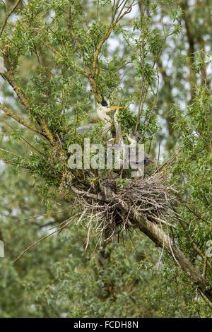Netherlands, Werkendam, national park De Biesbosch. Blue heron. 1 parent and 2 young in nest - Stock Photo