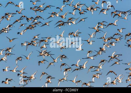 Netherlands, Ouderkerk aan de Amstel, Small polder called Landje van Geijsel, migrating waterfowl. Tailed godwits - Stock Photo
