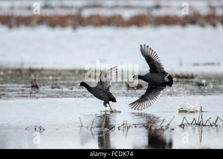 Netherlands, Ouderkerk aan de Amstel, Coots chasing each other in mating season - Stock Photo