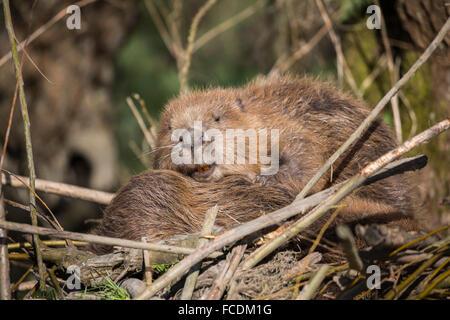 Netherlands, Rhoon, Nature Reserve Rhoonse Grienden. Marshland with willow trees. European beavers sleeping on beaver - Stock Photo