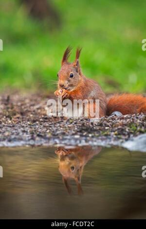 Netherlands, 's-Graveland, 's-Gravelandse Buitenplaatsen, Rural estate Hilverbeek. Eurasian Red Squirrel ( Sciurus vulgaris) Stock Photo