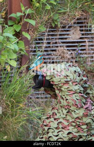 Netherlands, 's-Gravelandse Buitenplaatsen, Rural estate called Hilverbeek. Common Kingfisher (Alcedo atthis) on - Stock Photo