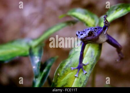 Purple Tree Frog On Plant In Forest - Stock Photo