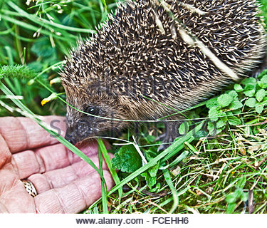 A baby European hedgehog Erinaceus europaeus investigating the photographer's hand in his garden in Downham Market, - Stock Photo