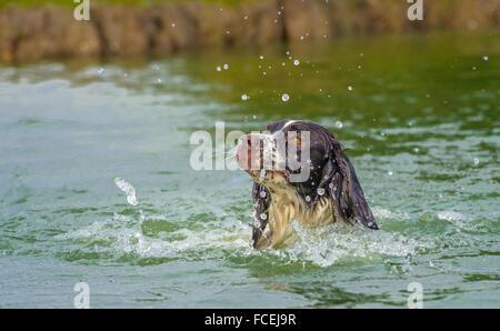 A English Springer Spaniel dog swimming in a lake making a splash - Stock Photo