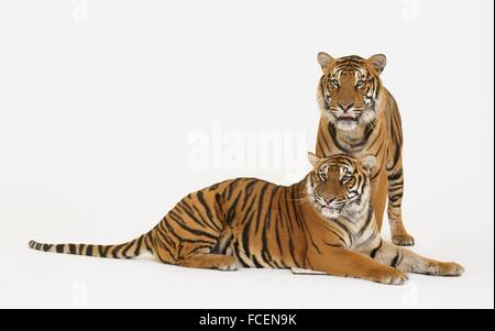 Two Tigers (Panthera tigris) standing and lying down - Stock Photo