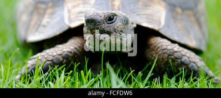 Close up of Tortoise in panoramic format - Stock Photo