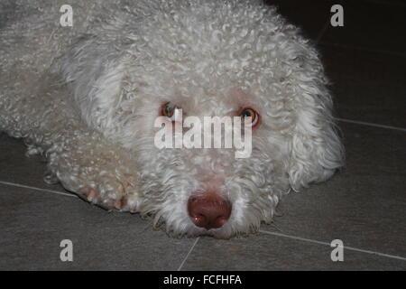 Spanish Water dog (perro de agua español) resting on the floor. - Stock Photo