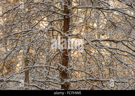 Snow covered and backlit tree in winter. Sun is behind the forest and shines through the branches. - Stock Photo
