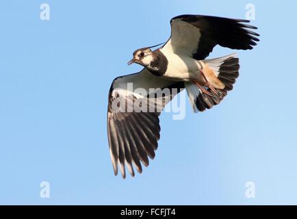 European common lapwing (vanellus vanellus) in flight - Stock Photo