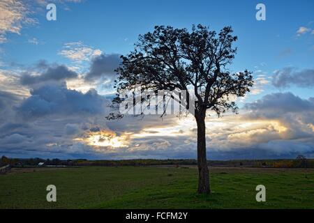A lone oak tree in a pasture, Manitoulin Island, Ontario, Canada - Stock Photo