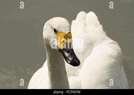 Whooper swan Cygnus cygnus at Arundel Wetland Centre West Sussex UK - Stock Photo