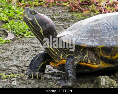 Florida red-bellied or Florida redbelly turtle, Pseudemys nelsoni - Stock Photo