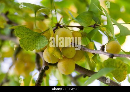 Ripe Ginkgo biloba fruit on the tree in autumn - Stock Photo