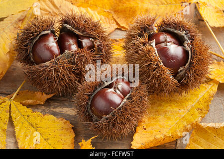 Heap of whole spiky sweet chestnuts and leaves - Stock Photo