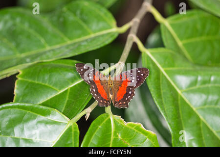Scarlet peacock  butterfly (Anartia amathea) - Stock Photo