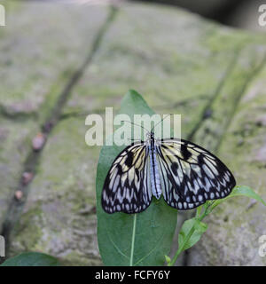 A Malabar tree-nymph butterfly  (Idea malabarica) resting on a leaf - Stock Photo