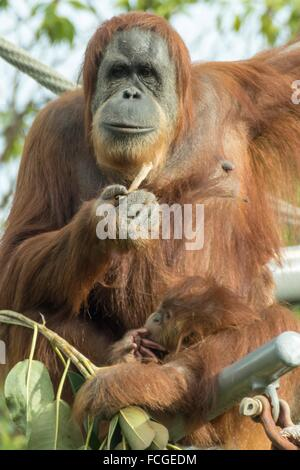 Mom and baby Orangutan up in their tree. - Stock Photo
