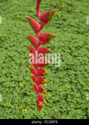 Heliconia Rostrata also known as false-bird-of-paradise, with distinct lobster claw shaped leaves, hanging in the - Stock Photo