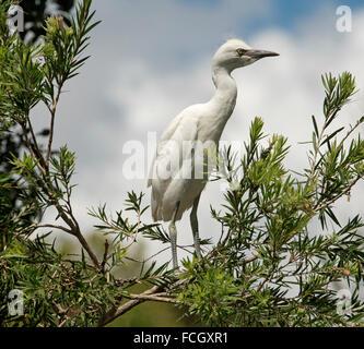 Australian white cattle egret chick / fledgling, Ardea ibis, standing on branch among dark green foliage against - Stock Photo