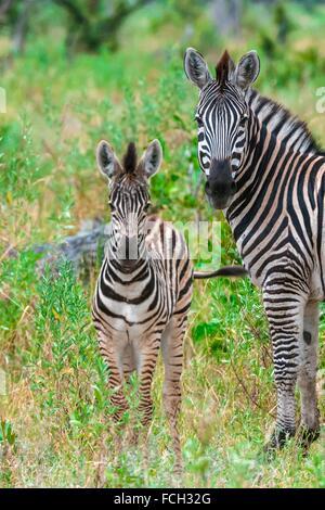 Baby zebra (foal), Kwando Concession, Linyanti Marshes, Botswana. - Stock Photo