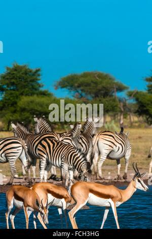 Springbok and zebras at a watering hole, Nxai Pan National Park, Botswana. - Stock Photo