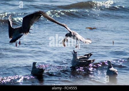 Herring Seagulls ( Larus argentatus) - Stock Photo